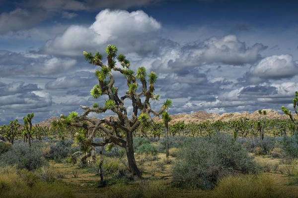 Photograph - Joshua Trees Under A Cloudy Blue Sky by Randall Nyhof