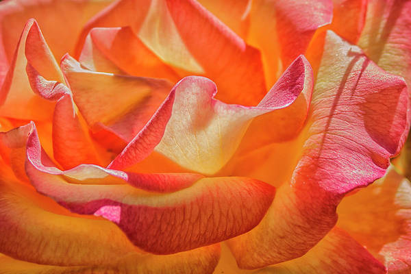 Photograph - Journey To The Center Of The Rose by Rick Mosher
