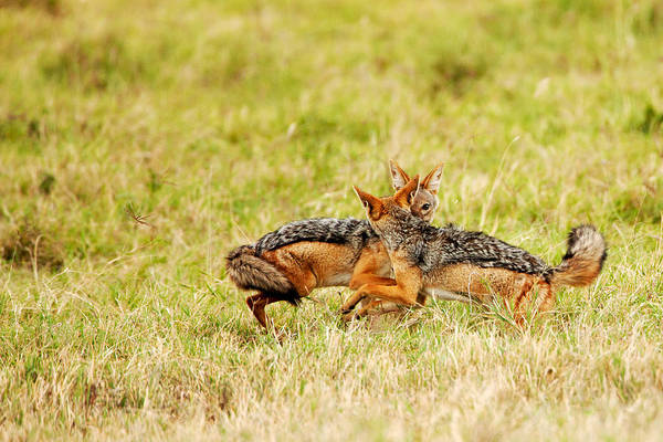 Photograph - Jovial Jackals by John  Nickerson