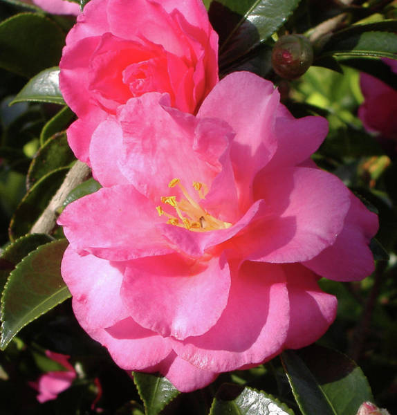 Camelia Photograph - Joy In The Morning by Diane Ferguson