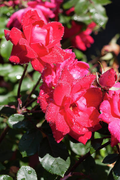 Wall Art - Photograph - Juicy Knockout Roses by Suzanne Gaff