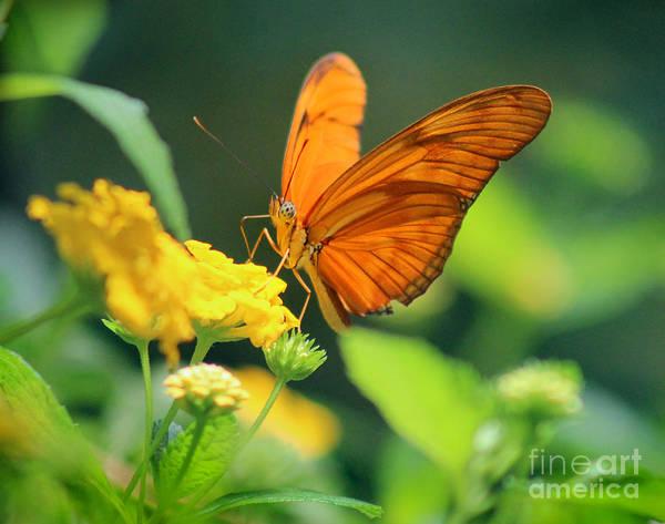 Photograph - Julia Butterfly by Karen Adams