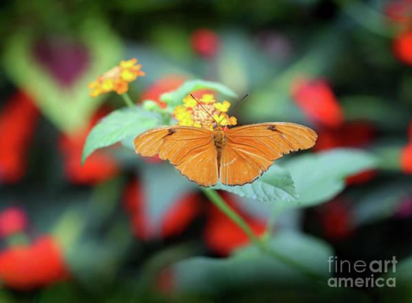 Photograph - Julia Butterfly On Yellow Lantana by Karen Adams