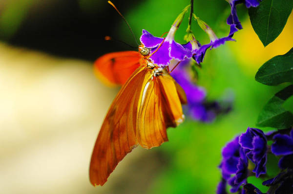 Wall Art - Photograph - Julia Butterfly Sipping From A Flower  by Jeff Swan