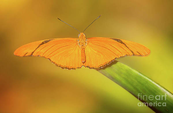 Wall Art - Photograph - Julia Heliconian Butterfly by Todd Bielby