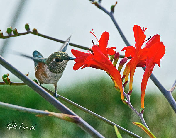 Photograph - July Hummer by Kate Lynch