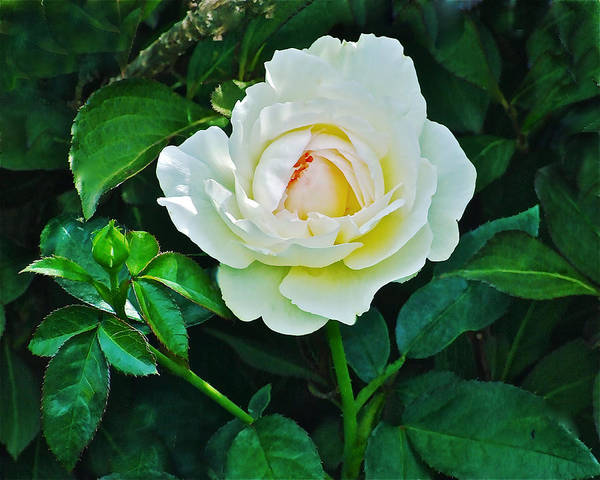 Photograph - July White Rose by Janis Nussbaum Senungetuk