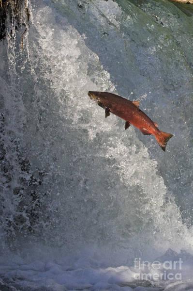 Chinook Salmon Photograph - Jumping Chinook Salmon by Tim Grams