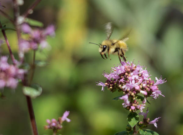 Photograph - Dancing Bee by Marilyn Wilson