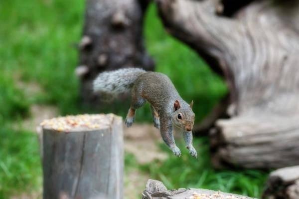Photograph - Jumping On Next Stump by Dan Friend