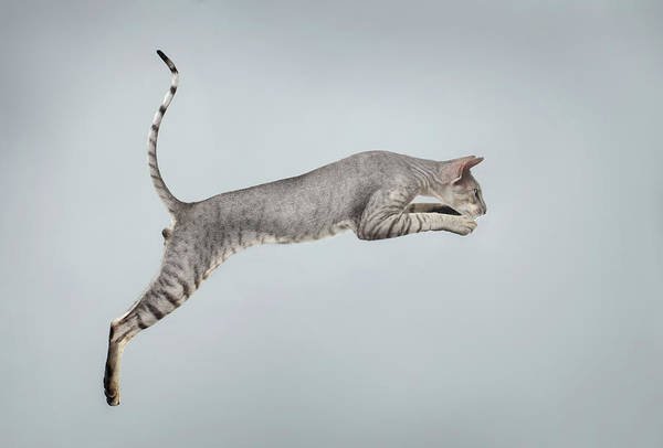 Tan Cat Wall Art - Photograph - Jumping Peterbald Sphynx Cat On White by Sergey Taran