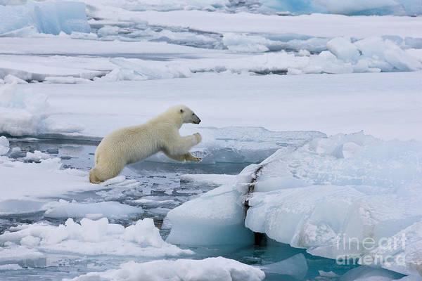 Wall Art - Photograph - Jumping Polar Bear by Jean-Louis Klein & Marie-Luce Hubert