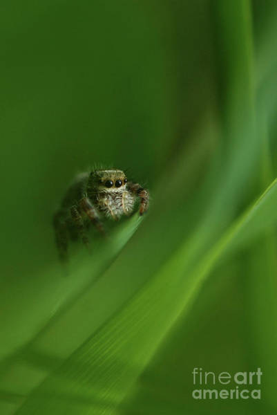 Photograph - Jumping Spider Contemplating Life by Katie Joya