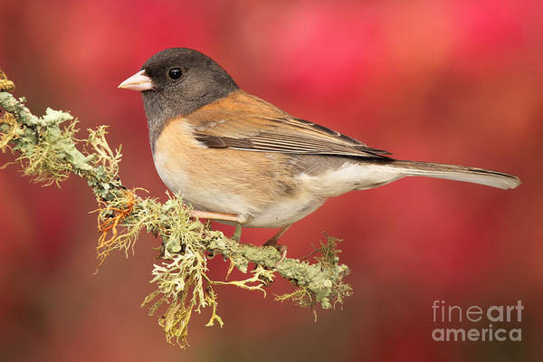 Wall Art - Photograph - Junco Against Peach Blossoms by Max Allen