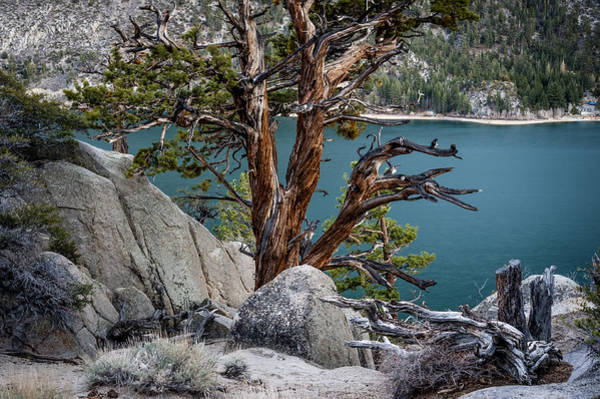 Juniper Photograph - June Lake Juniper by Cat Connor