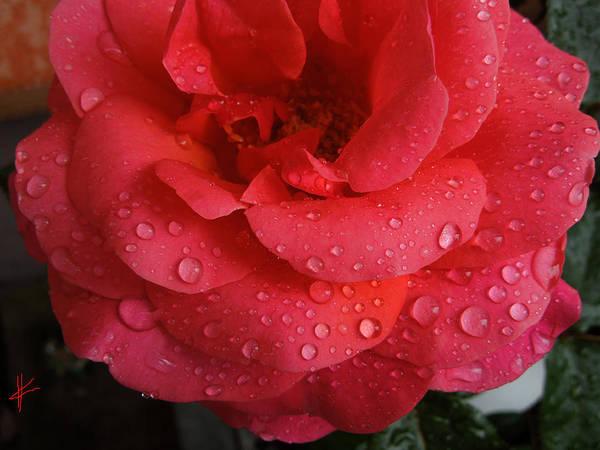 Photograph - June  Rose  by Colette V Hera  Guggenheim