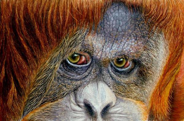Sumatran Drawing - Jungle Enchantress by Karen Sharp