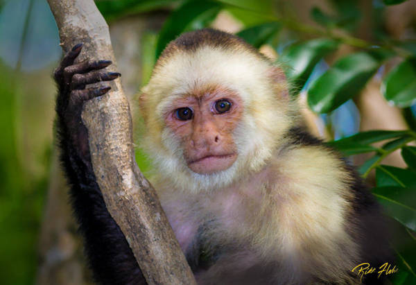 Photograph - Jungle Monkey Portrait by Rikk Flohr