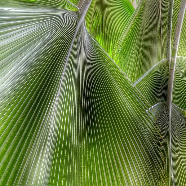 Photograph - Jungle Palms by Marianna Mills
