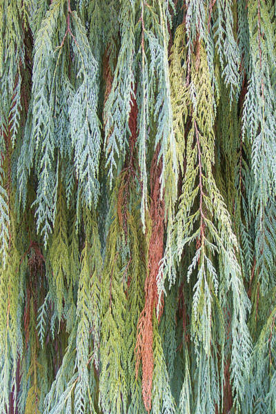 Wall Art - Photograph - Juniper Leaves - Shades Of Green by Ben and Raisa Gertsberg
