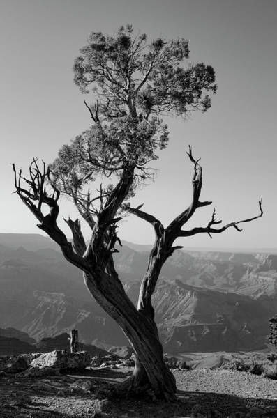Photograph - Juniper Tree At Grand Canyon II Bw by David Gordon