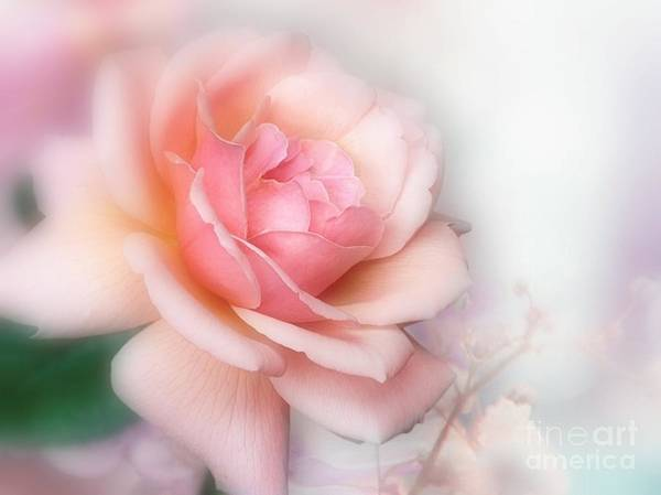 Photograph - Just A Beautiful Rose by Morag Bates
