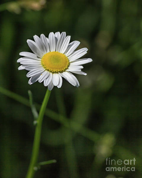 Photograph - Just A Daisy by Rod Best