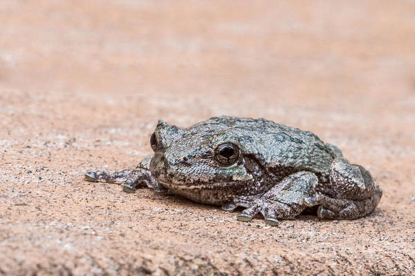 Photograph - Just A Frog by Patti Deters