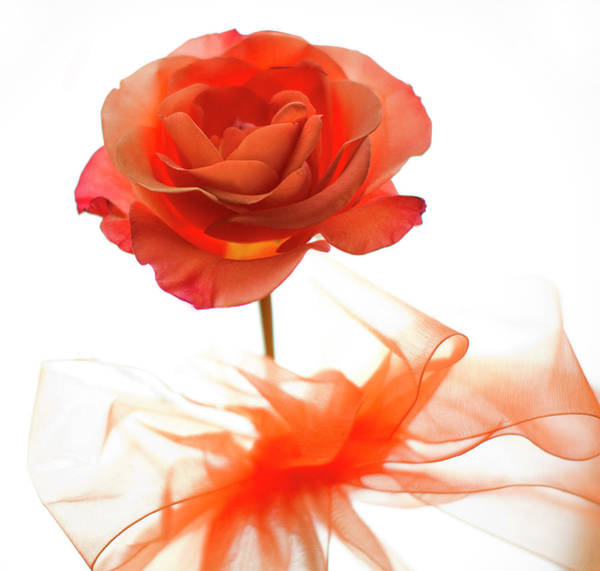 Orange Rose Photograph - Just About Perfect Too by Rebecca Cozart