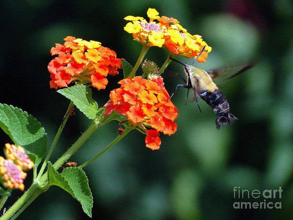 Hemaris Photograph - Just Like A Hummingbird by Sue Melvin