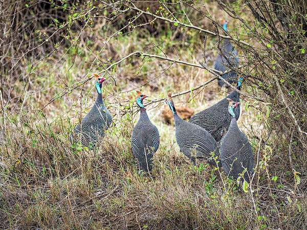 Photograph - Helmeted Guinea Fowl  by Robin Zygelman