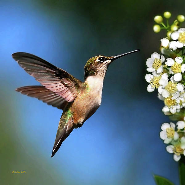 Photograph - Just Looking Hummingbird Square by Christina Rollo