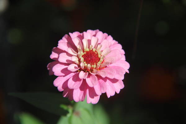 Photograph - Just Me - Zinnia by Allen Nice-Webb