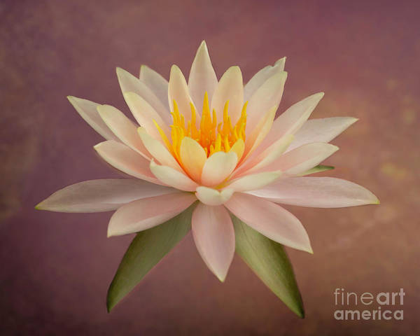 Photograph - Just Peachy Water Lily by Sabrina L Ryan