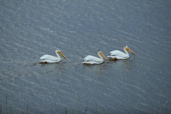 Triple Pelicans Lake John Swa Co Art Print