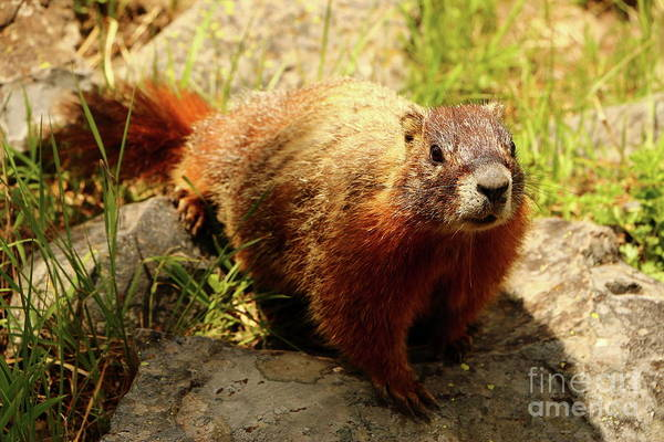 Marmot Photograph - Just Want To Let You Know That Your Lunch Looks Delicious by Christiane Schulze Art And Photography