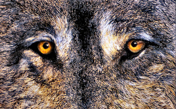 Wall Art - Print - Just Watching Wolf by JoLyn Holladay
