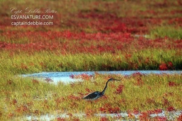 Photograph - Juv Little Blue Heron In Crimson Marsh by Captain Debbie Ritter