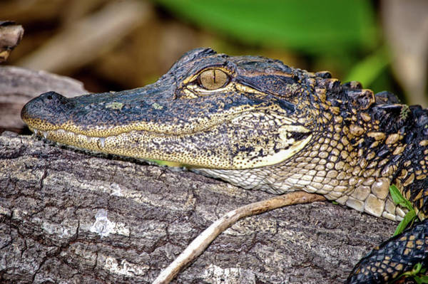 Wall Art - Photograph - Juvenile Alligator by Rich Leighton