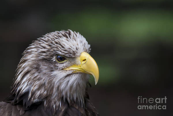 Photograph - Juvenile Bald Eagle by Andrea Silies