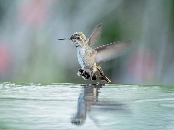 Photograph - Juvenile Anna's Hummingbird by Tam Ryan