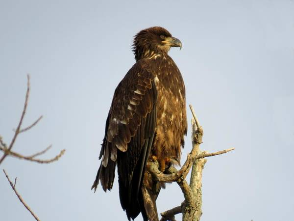 Photograph - Juvenile Bald Eagle 1 by Dennis McCarthy