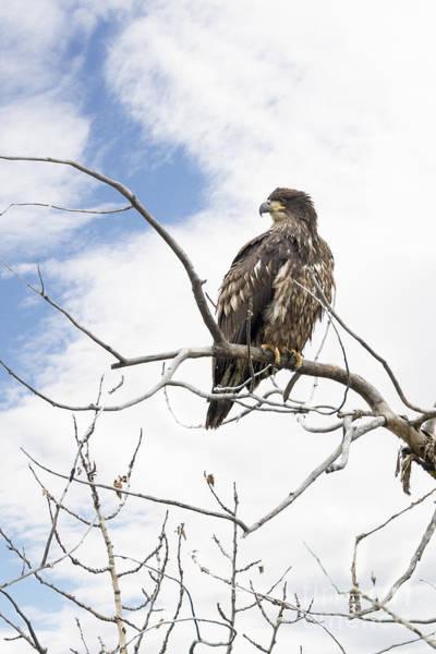 Photograph - Juvenile Bald Eagle by Jemmy Archer