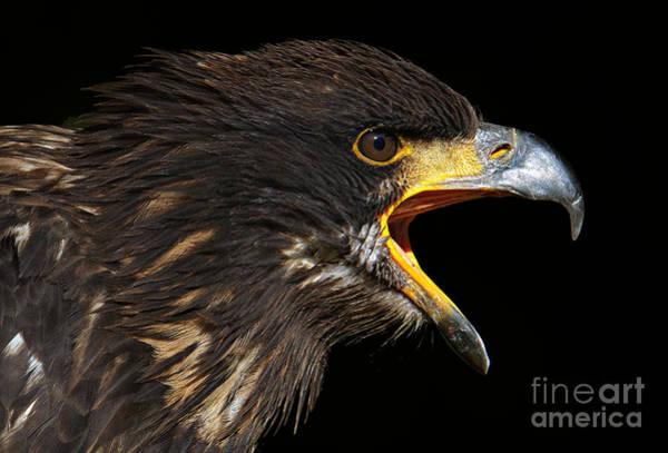 Kopf Photograph - Juvenile Bald Eagle by Joerg Lingnau