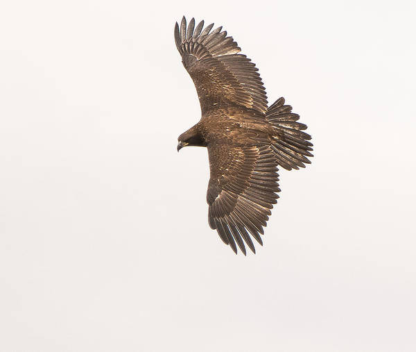 Photograph - Juvenile Bald Eagle by Tam Ryan
