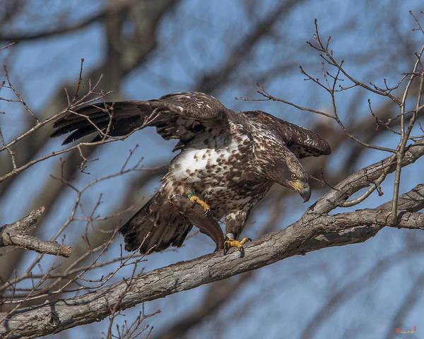 Photograph - Juvenile Bald Eagle With A Fish Drb0218 by Gerry Gantt
