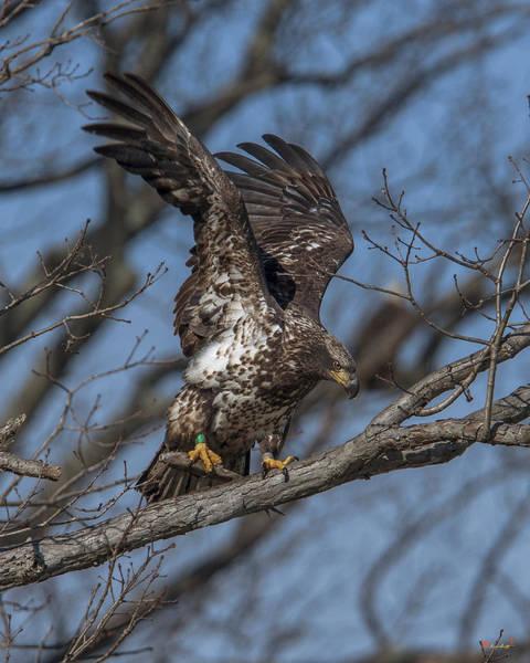 Photograph - Juvenile Bald Eagle With A Fish Drb0219 by Gerry Gantt