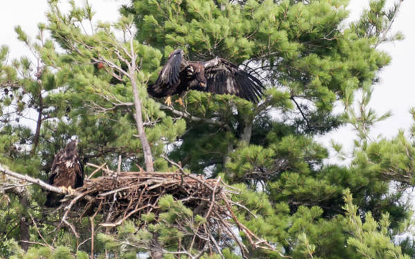 Photograph - Juvenile Bald Eagles Branching by Brian Hale