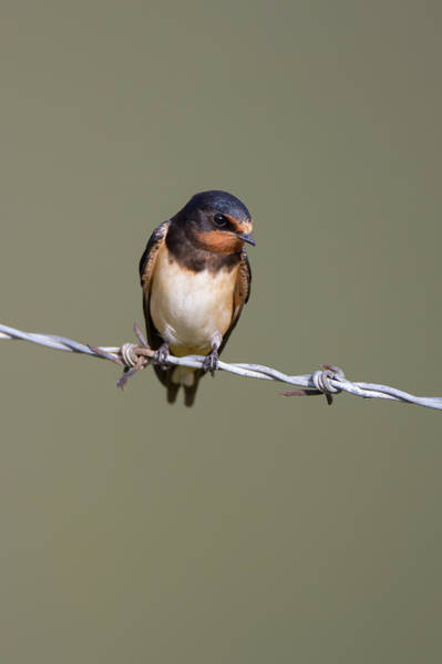 Photograph - Juvenile Barn Swallow by Peter Walkden