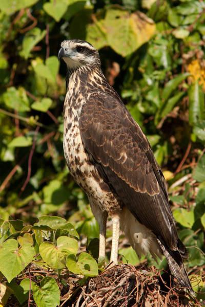 Photograph - Juvenile Great Black Hawk by Aivar Mikko